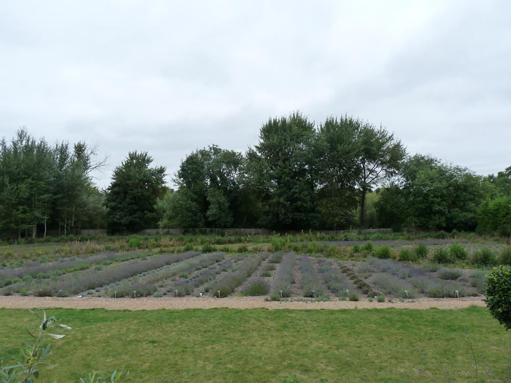Alresford Lavender