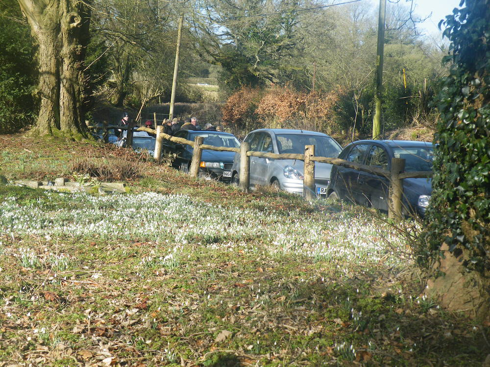 Lots of Snowdrops