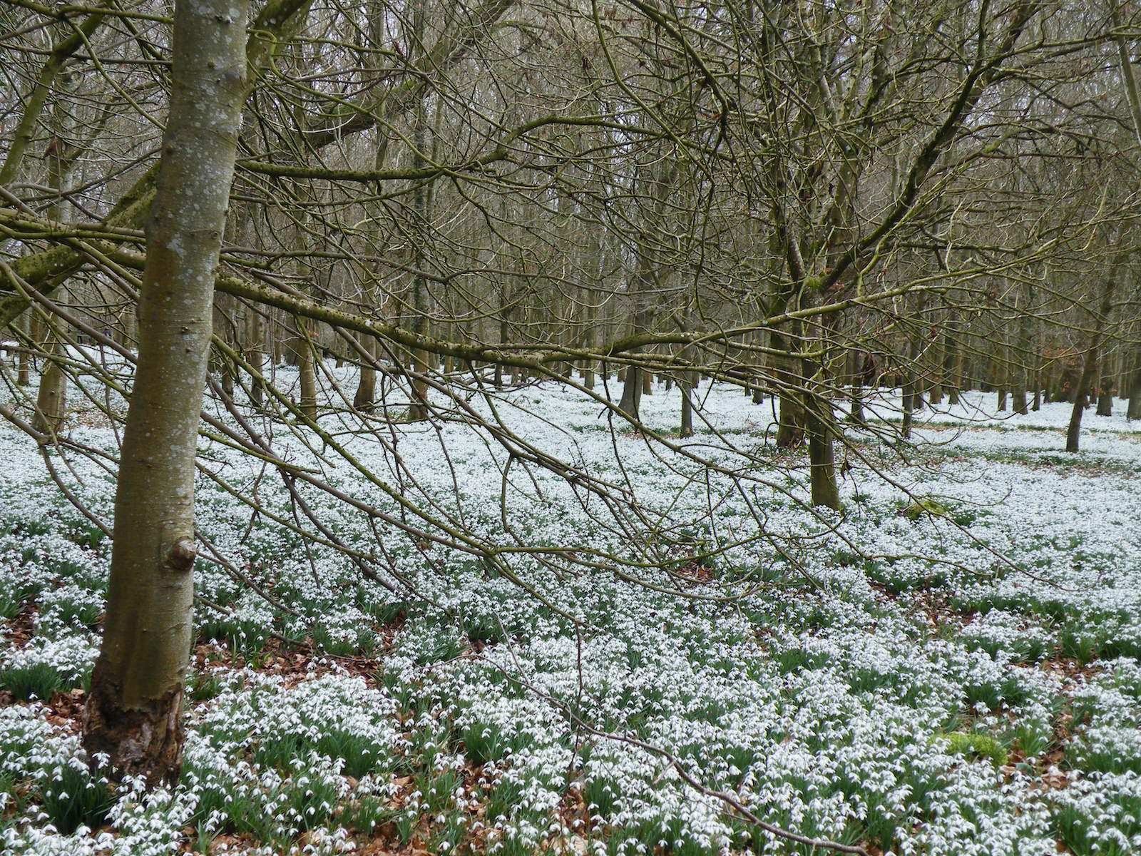 And at last, snowdrops!